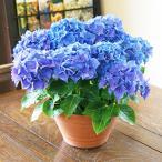 母の日 父の日 2021 花 プレゼント 紫陽花 あじさい アジサイ 青 アーリー ブルー カゴ付 鉢植えの花 鉢植え 父の日誕生日 結婚記念日 結婚祝い