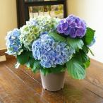 アジサイ 母の日 送料無料 アジサイ カメレオンの様に色が変わるアジサイ ブルー系 鉢植え 紫陽花 あじさい