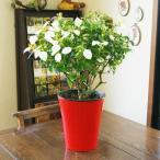 送料無料 コンロンカ ハンカチの木 鉢植え 鉢植えの花 プレゼント バラ 木 おしゃれ 胡蝶蘭 木 屋外 苗