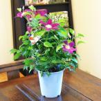 クレマチス テッセン 鉢植えの花 鉢植え 鉢植え 観葉植物 インテリアグリーン プレゼント誕生日 結婚記念日 結婚祝い 画像 送料無料