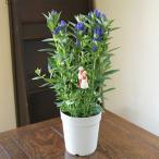 りんどう リンドウ 鉢植えの花 鉢植え ギフト プレゼント 敬老の日 誕生日 結婚記念日 結婚祝い 画像 送料無料
