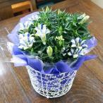 りんどう リンドウ 鉢植えの花 鉢植え 竜胆 白寿 又は クリスタルホワイト 敬老の日 誕生日 結婚記念日 結婚祝い 画像 送料無料