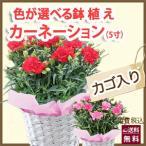 カーネーション 5号 5寸 色が選べる 鉢植えの花 鉢植え 生花 プレゼント 花 ギフト 母の日 父の日 卒業 画像 送料無料
