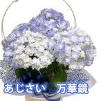 母の日 2022 花 プレゼント 父の日 鉢植え プレゼント あじさい 万華鏡 色が選べる 5寸 5号 篭付き ラッピング無料 紫陽花 アジサイ 誕生日