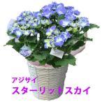 母の日 父の日 花 プレゼント あじさい 鉢植え ギフト スターリットスカイ 絢 青 アジサイ 4寸 父の日 送料無料 紫陽花 父の日 誕生日 花ギフト