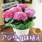 紫陽花 あじさい 送料無料 色が選べる アジサイ 鉢植え 5号鉢 鉢カバー付き ハイランドジア