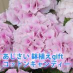 母の日 父の日 2022 花 プレゼント あじさい 鉢植え ギフト コットンキャンディー ピンク アジサイ 5寸 送料無料  紫陽花 父の日 誕生日 花ギフト