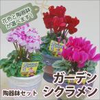 【送料無料】色が選べる ガーデンシクラメン 陶器鉢セット
