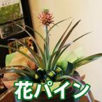パイナップル 鉢植えの花 鉢植え ギフト お中元 誕生日結婚記念日プレゼント 花 プレゼント 送料無料