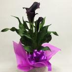 カラー 花 鉢植えの花 鉢植え 黒 シュワルツワンダー鉢植えの花 鉢植え プレゼント誕生日 結婚記念日 結婚祝い 画像 送料無料