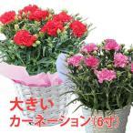 母の日 カーネーション 6寸 6号 色が選べる 鉢植え 花 篭付き ラッピング無料 メッセージカード付 ギフト 花 プレゼント 送料無料 花鉢 花 母 誕生日 フラワー