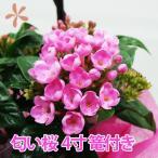 匂い桜 ニオイザクラ 4寸 篭付き  アリッサム ルクリア 鉢植えの花 鉢植え誕生日 結婚記念日 結婚祝い