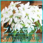 純白のプリンセチア クリスタルスノー 送料無料