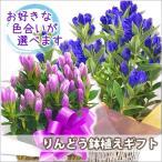 りんどう 鉢植えの花 鉢植えギフト 2色から選べる 鉢植えの花 鉢植え プレゼント誕生日 結婚記念日 結婚祝い 画像 送料無料