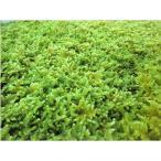 観葉コケ はいコケ45cm×30cm 水苔・和庭・オブジェ・ガーデニング 東名阪は送料込