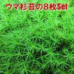 観葉コケ ウマ杉苔の8枚Set  45cm×30cm 水苔・和庭・オブジェ・ガーデニング 東名阪は送料込