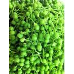 和歌山産 山椒(さんしょう・サンショウ)(実山椒・山椒の実)(生タイプ) 約500g