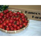 【千葉県旭市産】【送料無料】ミニトマト 千果1kg 鮮度抜群!甘くてジューシー! トマト tomato