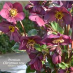 高級品種・冬咲きクリスマスローズ Ice N'roses 氷の薔薇 レッド 15cmポット1苗(2年生苗)