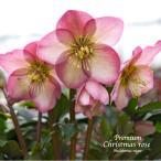 ショッピング花 高級品種・冬咲きクリスマスローズ Ice N'roses 氷の薔薇 ローズ 15cmポット1苗(2年生苗)