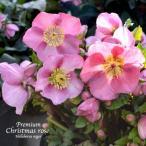ショッピングクリスマスローズ 高級品種・冬咲きクリスマスローズ マダムラモニエ 13.5cmポット1苗(2年生苗)