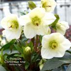 ショッピング花 高級品種・冬咲きクリスマスローズ Ice N'roses 氷の薔薇ホワイト 15cmポット1苗(2年生苗)
