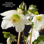 ショッピング花 高級品種・冬咲きクリスマスローズ パラデニア 15cmポット1苗 (2年生苗)