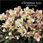 冬咲きクリスマスローズ マエストロ13.5cmポット1苗(2年生苗)