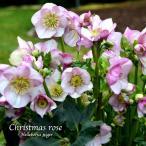 冬咲きクリスマスローズ 雪の妖精HGCリアラ18cmポット1苗(2年生苗)
