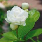 Yahoo!花農舎ヤフー店ジャスミン大苗3.5号/八重咲きマツリカ(ジェイド) お得な2苗