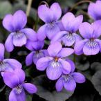 黒い葉に紫のすみれの花が上品!