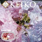 ショッピングアジサイ フラワーオブザイヤー受賞 母の日 達人のあじさい さかもと園芸 KEIKO ケイコ  ケイコ プレゼント アジサイ 鉢植え