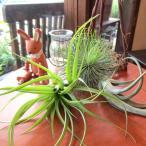 エアープランツ(大)おまかせ3種セット インテリア 北欧 雑貨 風水 エアプランツ プレゼント 誕生日 チランジア インテリアグリーン ミニ観葉 観葉植物