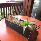 エアープランツおまかせ3種ブリキトレイセット 北欧 雑貨 風水 エアプランツ チランジア 観葉植物 ミニ プレゼント ギフト 贈り物 誕生日 開店祝い 引越し