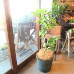 フィカス アルテシーマ(曲がり仕立て)8号鉢サイズ 観葉植物 ミニ 鉢植え インテリアグリーン プレゼント ギフト 贈り物 お誕生日 開店祝い 引越し祝い 新築