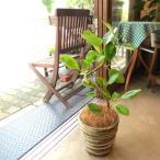 フィカス アルテシーマ(曲がり仕立て)6号鉢サイズ 鉢植え 観葉植物 ミニ インテリアグリーン プレゼント ギフト お誕生日 記念日 開店祝い ゴムの木 斑入り