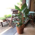 オーガスタ(ストレリチア・ニコライ)8号鉢サイズ 観葉植物 ミニ プレゼント ギフト 誕生日 結婚記念日 開店祝い 引越し ストレチア