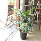 オーガスタ ストレリチア ニコライ 7号鉢サイズ 黒色 セラアート鉢 鉢植え ストレチア ブラック 送料無料 薫る花 観葉植物 おしゃれ インテリアグリーン