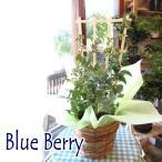 実付き ブルーベリー 2品種植え パティスリーベリー 5号鉢サイズ 鉢植え 送料無料 薫る花 庭木 シンボルツリー 果樹 フルーツ 鉢花  父の日特集