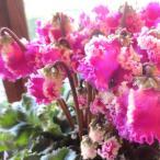 Yahoo!薫る花シクラメン T.ローザヘミングゴールド 5号鉢サイズ 鉢植え 花 フラワー 鉢花 プレゼント ギフト 贈り物 お誕生日 開店祝い お祝い お歳暮 御歳暮 クリスマス