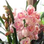 シンビジューム 4本立ち以上 鉢植え 洋蘭 洋ラン 送料無料 薫る花 シンビジウム シンピジューム シンピジウム フラワー 鉢花 花鉢 お歳暮 御歳暮 お誕生日