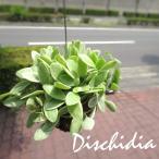 ディスキディア(ベンガレンシス斑入りバリエガタ)ワイヤー吊り玉仕立て 観葉植物 ミニ インテリア プレゼント ギフト 誕生日