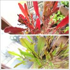 ドドナエア ビスコーサ プルプレア ポップブッシュ 8号鉢サイズ 観葉植物 プレゼント 誕生日 開店祝い 引越し 庭木 シンボルツリー