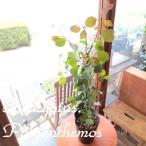 ユーカリポポラス 5号鉢サイズ 観葉植物 ミニ プレゼント ギフト お誕生日 開店祝い 庭木 シンボルツリー 苗 鉢植え ポポラスユーカリ ポリアンセモス