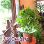 実付きぶどうの木 デラウェア 6号鉢サイズ 鉢植え 観葉植物 ミニ 花 フラワー 鉢花 プレゼント 庭木 シンボルツリー 果樹 フルーツ ブドウ 葡萄 父の日特集