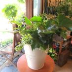 観葉植物のおまかせ寄せ植え(French Tin ラウンド ホワイト ブリキポット鉢植え)Mサイズ ミニ観葉 プレゼント 誕生日 開店祝い インテリアグリーン セット