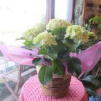 アジサイ マジカルノブレス マジカルブルー 5号鉢サイズ 鉢植え 選べる花色 ホワイト系 ブルー系 あじさい 紫陽花 花 フラワー 鉢花 プレゼント 母の日ギフト