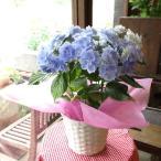アジサイ ブレスレット 5号鉢サイズ 鉢植え 大栄花園 水色 ブルー あじさい 紫陽花 送料無料 薫る花 フラワー 鉢花 花鉢 母の日ギフト 母の日特集 2021年