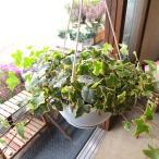 斑入り アイビー ヘデラ ゴールデンチャイルド 6号吊鉢 鉢植え 蔓性 つる性 吊り下げ ぶら下げ 壁掛け 送料無料 薫る花 観葉植物 おしゃれ