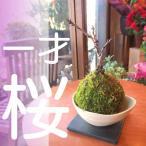 一才桜(旭山桜)の苔玉(和陶器受け皿付き) 観葉植物 ミニ プレゼント ギフト 贈り物 誕生日 開店祝い 合格祝い コケ玉 こけ玉 盆栽 サクラ さくら